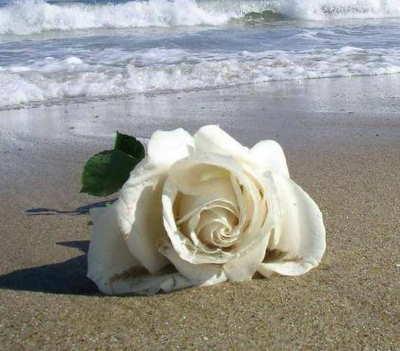 Rosas, ramo de rosas, enviar rosas, 12 rosas rojas, 12 rosas blancas, ramo rosas blancas, envio rosas a domicilio, rosas San Valentin, rosas San Jordi